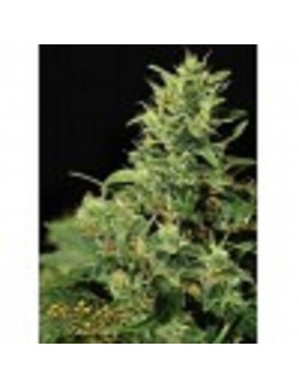 Green House Seeds - Big Bang - Feminized 10
