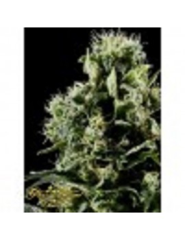 Green House Seeds - Himalayan Gold - Feminized 10