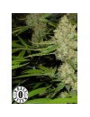 Grass-O-Matic Mass - Feminized 3