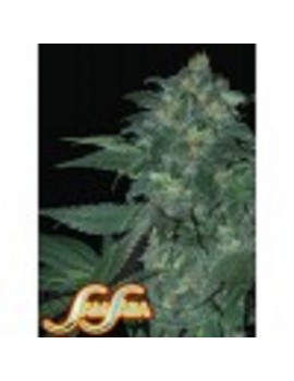 Samsara Seeds Automatic Ultraviolet - Feminized 5