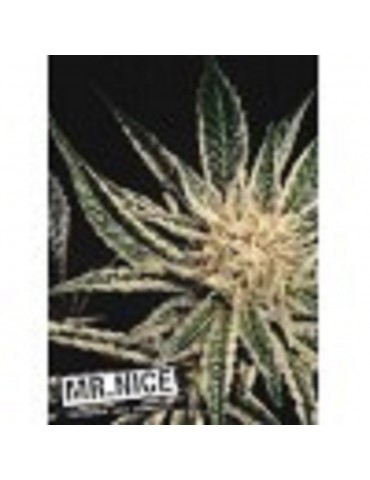 Mr Nice Seeds Black Widow - Regular 15