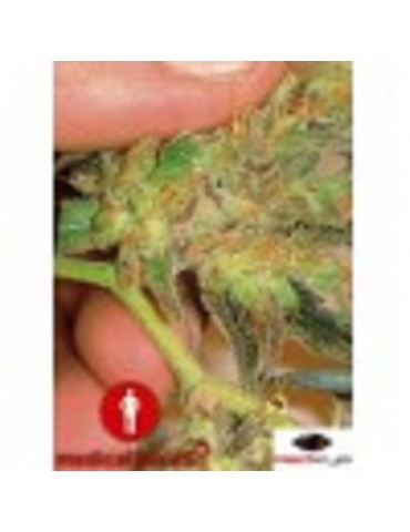 Medical Seeds Channel + - Feminized 5