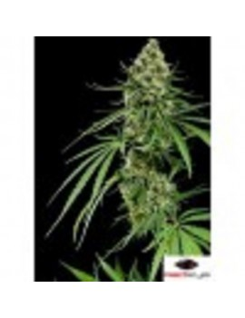 Dinafem Seeds - Critical + - Feminized 3