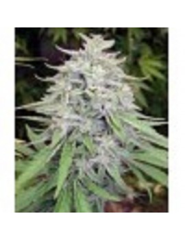Ace Seeds Bangi Haze - Regular 10
