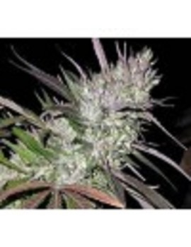 Ace Seeds Pakistan Chitral Kush - Regular 10