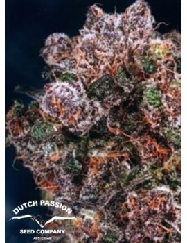 Dutch Passion - Blueberry - Feminized 5