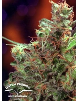 Dutch Passion - Californian Orange