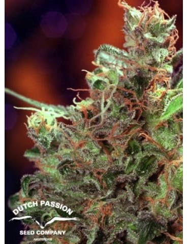 Dutch Passion - Durban Poison - Feminized 10