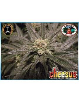 Big Buddha Seeds Cheesus - Feminized 5