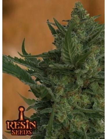 Resin Seeds Critical Haze - Feminized 5