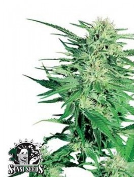 Sensi Seeds Big Bud - Feminized 5