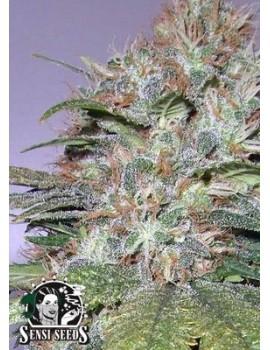 Sensi Seeds California Indica - Regular 10