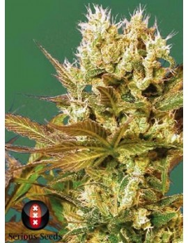 Serious Seeds Motivation - Feminized 6