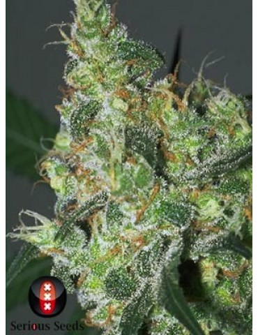 Serious Seeds White Russian - Feminized 6
