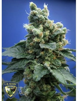 T H Seeds Sage 'n' Sour - Feminized 5