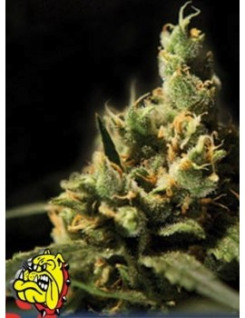 The Bulldog Seeds - Citral Skunk - Feminized 5