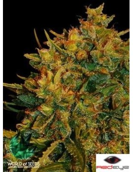 World of Seeds AUTOFLOWERING Northern Lights x Big Bud - Feminized 3