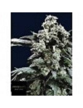 Black Label Seeds - Hollands Hope - Feminized 10