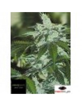Black Label Seeds - Jack Herer - Feminized 10