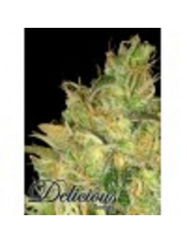 Delicious Seeds - Black Russian - Feminized 5