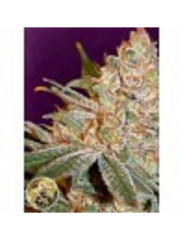 Advanced Seeds - Black Diesel - Feminized 1