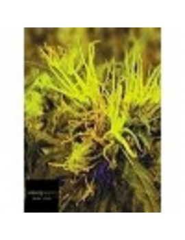 Black Label Seeds - Blue Berries - Feminized 10