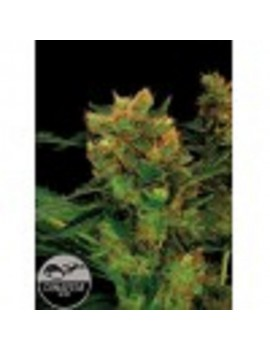 Dinafem Seeds - Blue Hash - Feminized 3