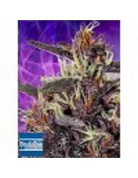 Buddha Seeds - Purple Kush Auto - Feminized 5