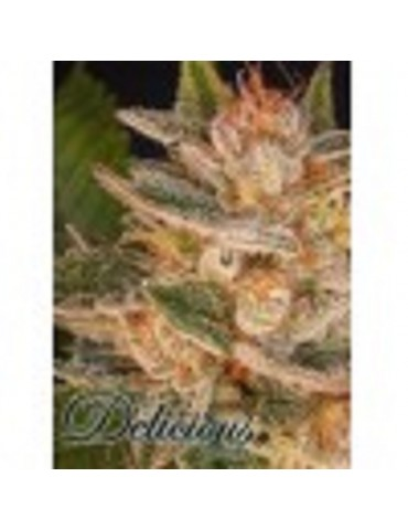 Delicious Seeds - Cheese Candy - Feminized 5