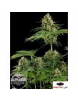 Dinafem Seeds - Moby Dick - Feminized 3