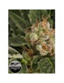 Dinafem Seeds - Blue Fruit - Feminized 5