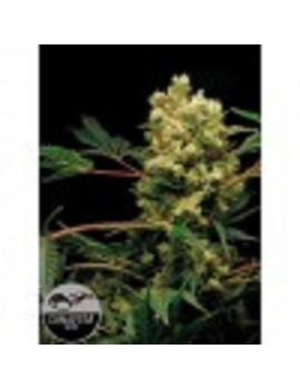 Dinafem Seeds - Power Kush - Feminized 5