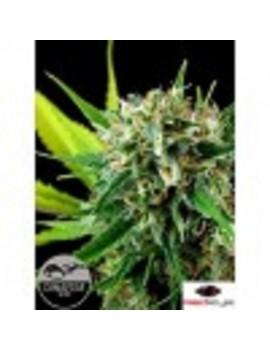 Dinafem Seeds - Royal Haze - Feminized 3