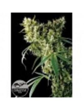 Dinafem Seeds - Super Silver Haze - Feminized 5