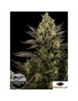 Dinafem Seeds - White Widow - Feminized 3