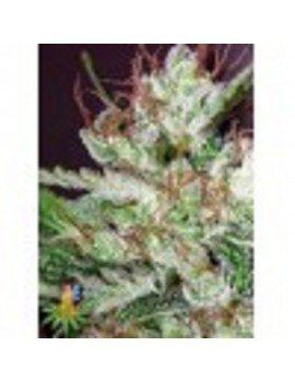 Sativa Seeds Eldorado - Feminized 5