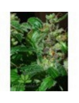 Female Seeds - Black Sugar - Feminized 10