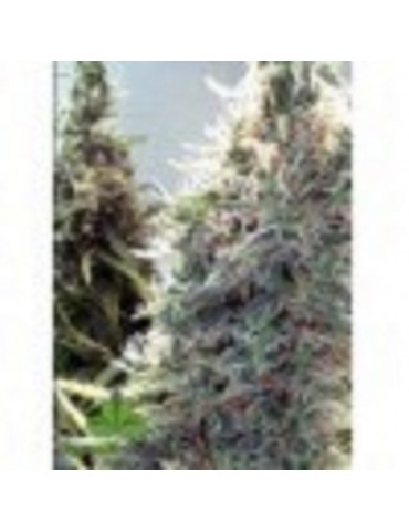 Female Seeds - C99 - Feminized 4
