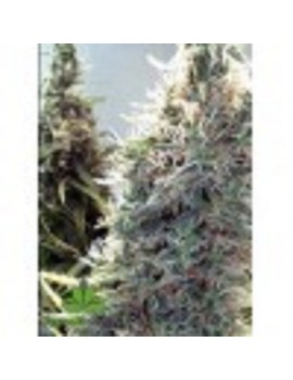 Female Seeds - C99 - Feminized 10