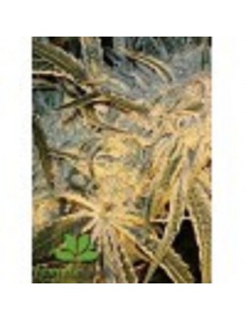 Female Seeds - Northern Light - Feminized 4