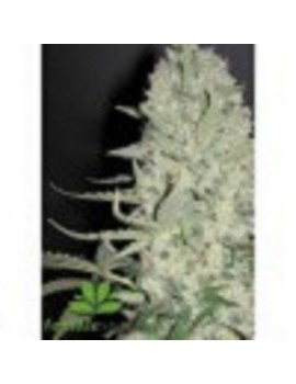 Female Seeds - White Widow x Big Bud - Feminized 4