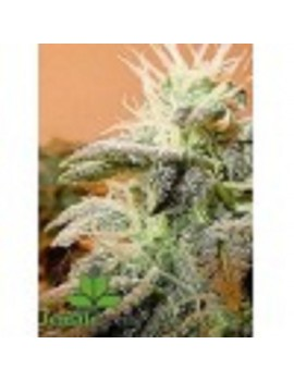 Female Seeds - Indoor Mix - Feminized 10