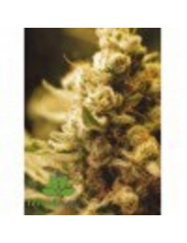 Female Seeds - Lemon Kush - Feminized 4