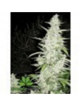Female Seeds - Maroc - Feminized 4