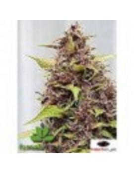 Female Seeds - Purple Power - Feminized 10