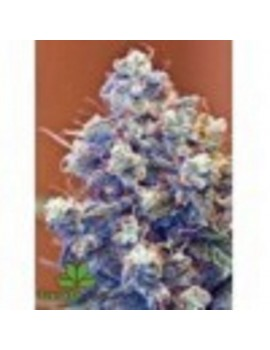 Female Seeds - Iced Grapefruit - Feminized 4