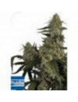 Buddha Seeds - Quassar - Feminized 5