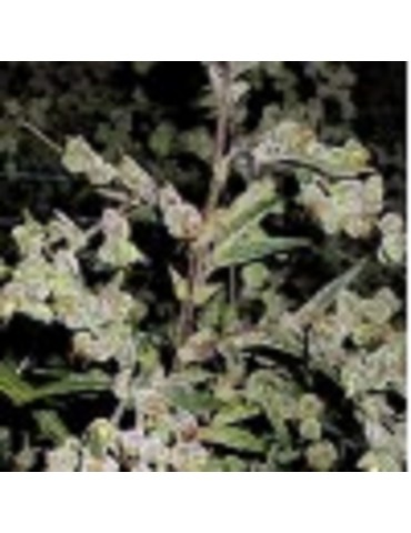 Barneys Farm - Dr Grinspoon - Feminized 5