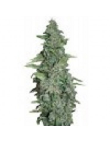 Barneys Farm - Honey B - Feminized 10