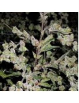 Barneys Farm - Dr Grinspoon - Feminized 10